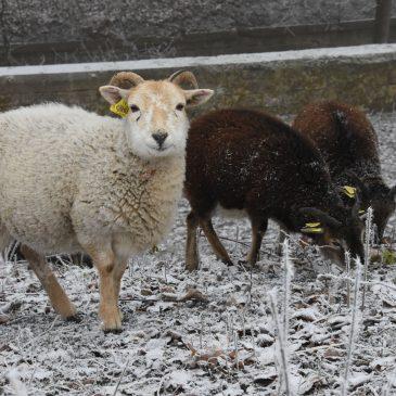 Moutons de Soay